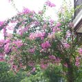 Bougainvilliers (Large)