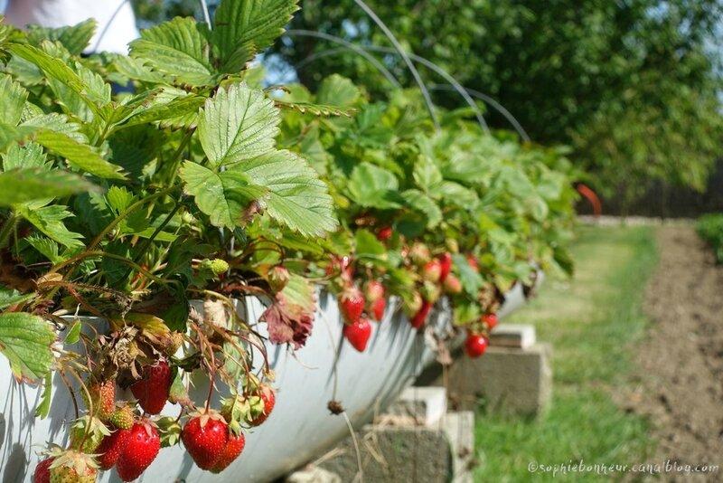cer fraises
