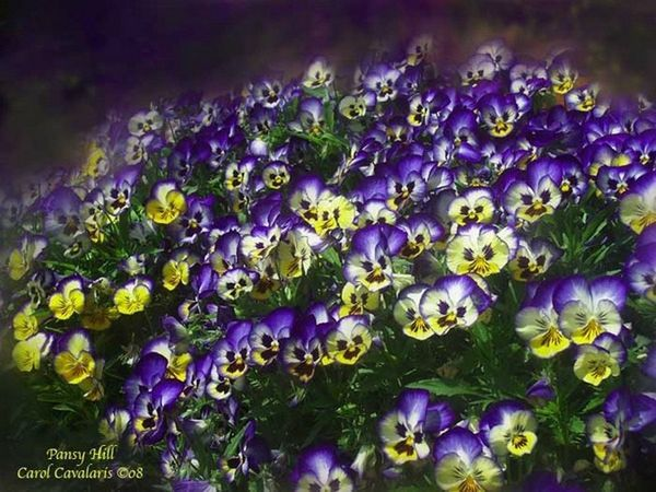 94505682_Pansy_Hill