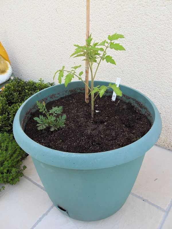 Plantation des l gumes fruits le jardin du zen home - Planter tomates cerises en pot ...