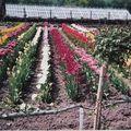 tulipes dans parc du jardine