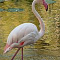 flamand rose-0252