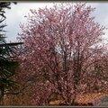 Prunus 250315
