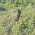 2009 09 19 Un Aigle Royal au dessus du Col des Limouches