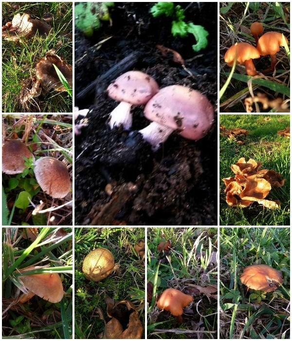 champignons novembre 2016