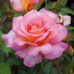 Rose_Andre_Eve_Adesmano