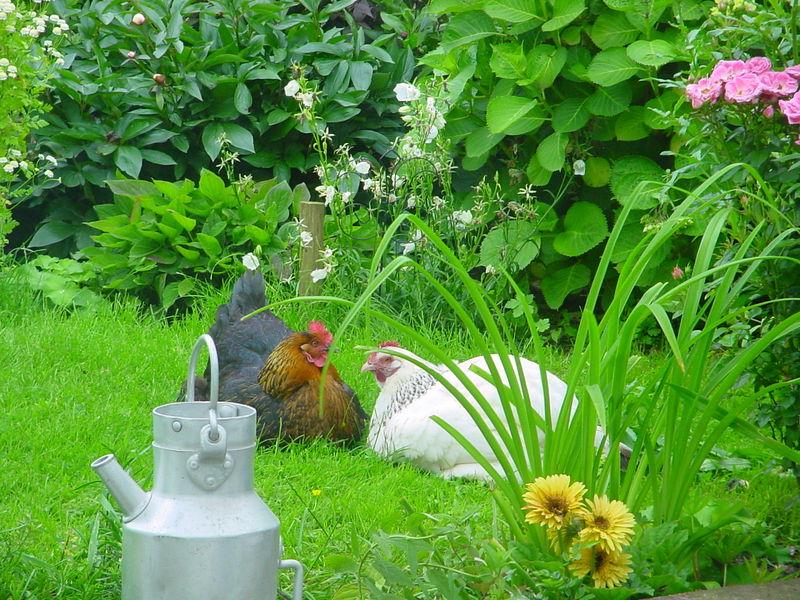 mes poules