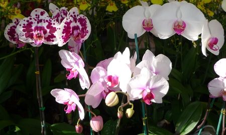ORCHIDEES_BLANCHES_MOUCHETEES_MAUVES