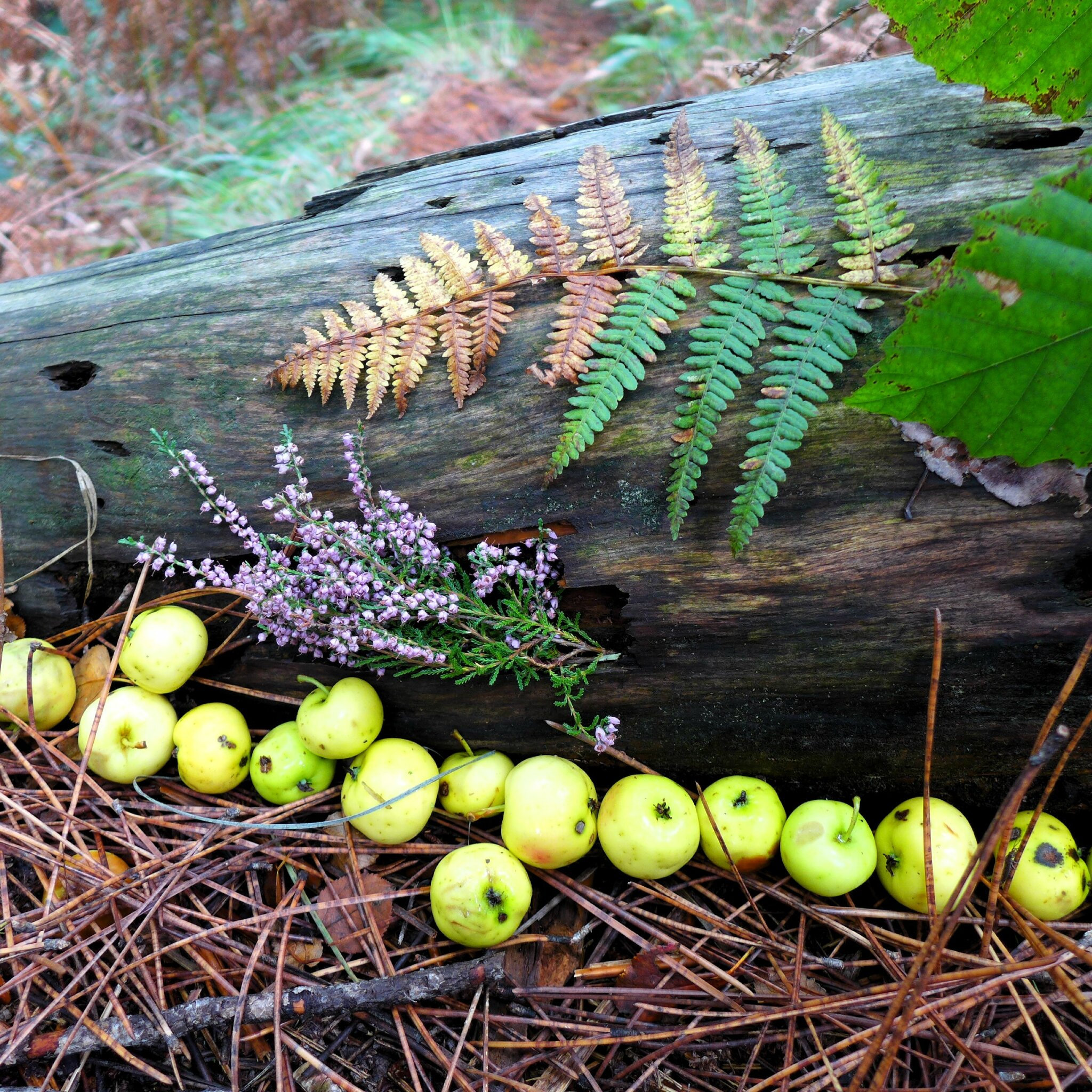 rangée de pommes sauvages yurtao