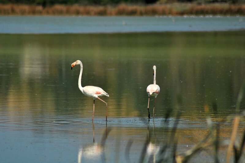 Flamants_roses
