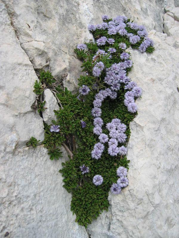 Fleur_de_mur