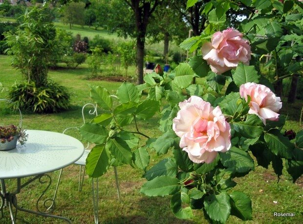Rose ancienne : 'Lady Waterlow'