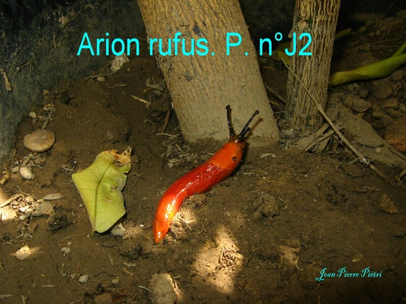 Arion rufus