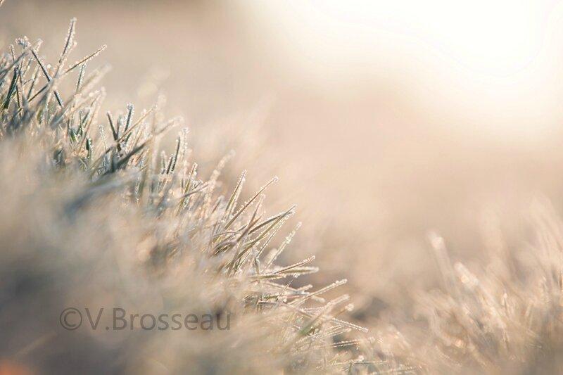 herbe-givrée15-01