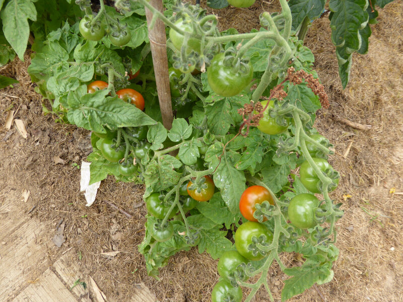 30-tomates-serre (5)