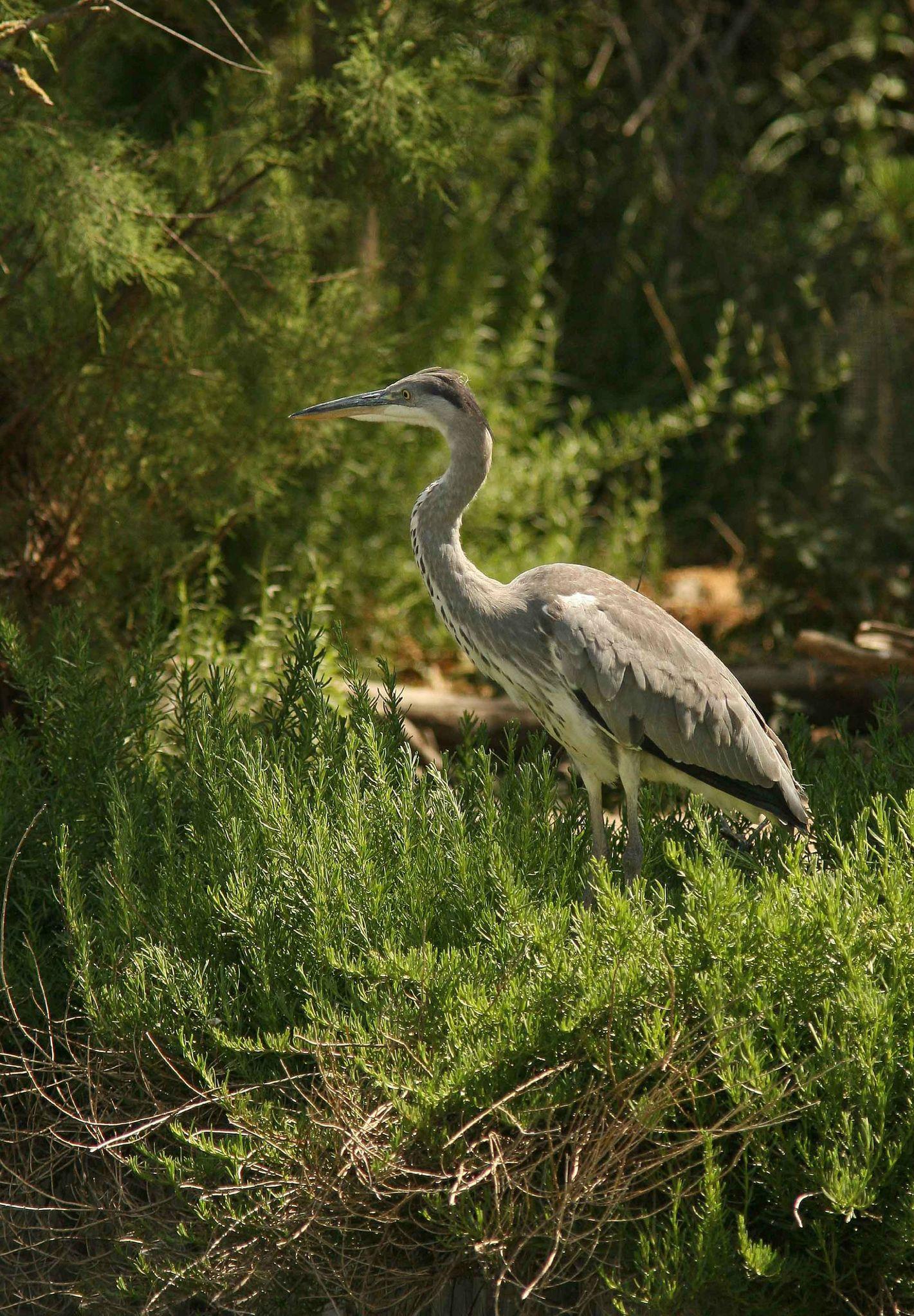Camargue 8 oiseaux et compagnie for Oiseau commun