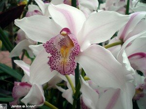 Cymbidium Alexalban The Bride