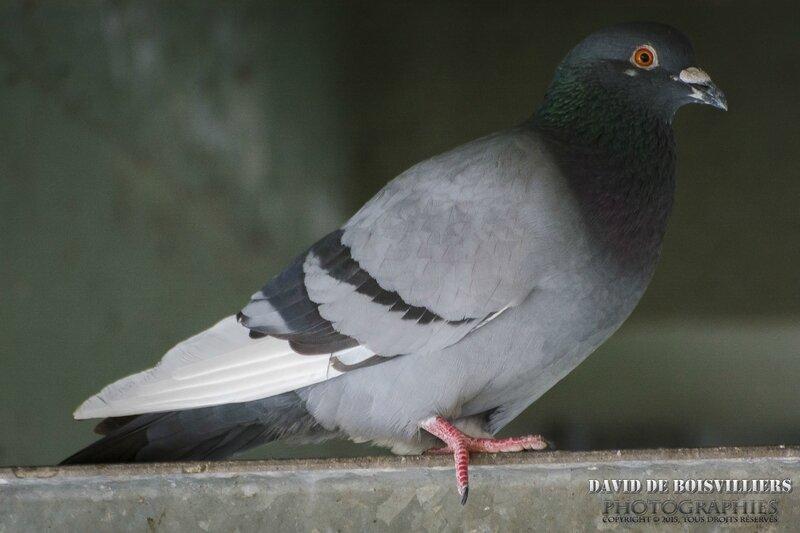 Pigeon Biset (Colomba Livia)