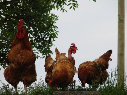 2008 06 15 Les poules et le coq sur la levé de grange