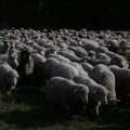 A sea of sheep