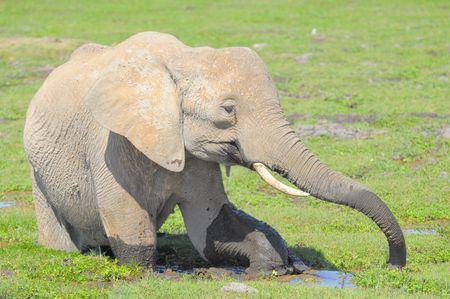 El_phant_d_Afrique__parc_d_Amboseli__Kenya
