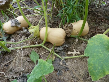 19 potager au 19 septembre 2012 (14)
