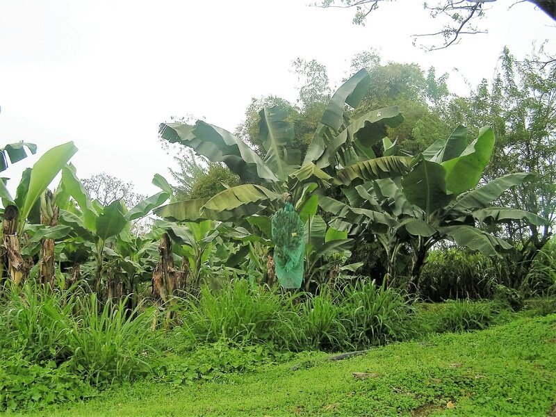 2016 03 09 (24) - distillerie JM plantation bananes à Macouba