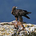 l'aigle royal dans les pyrenees-orientales