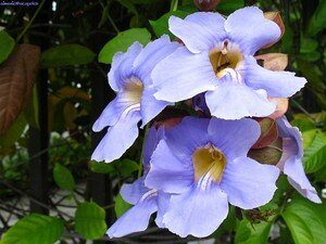 azul_1108_1bluebees