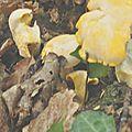 Cantharellus cibarius (4)