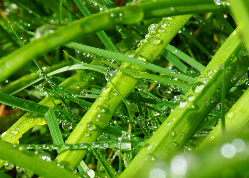 herbe gouttes