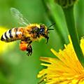 Comme l'abeille ... je butine ...