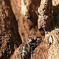 Salticidae femelle