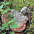 Ganoderma applanatum (3)