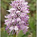 Orchis x beyrichii : hybride o. militaris x o. simia