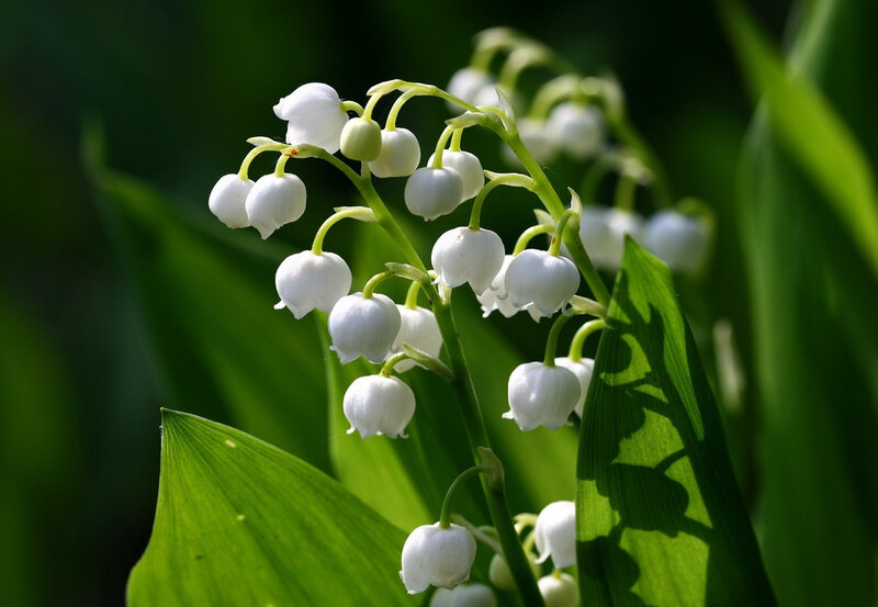muguet-lilly-of-the-valley-by-Muffet-via-Flickr-1024x708