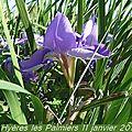 Iris d'algérie