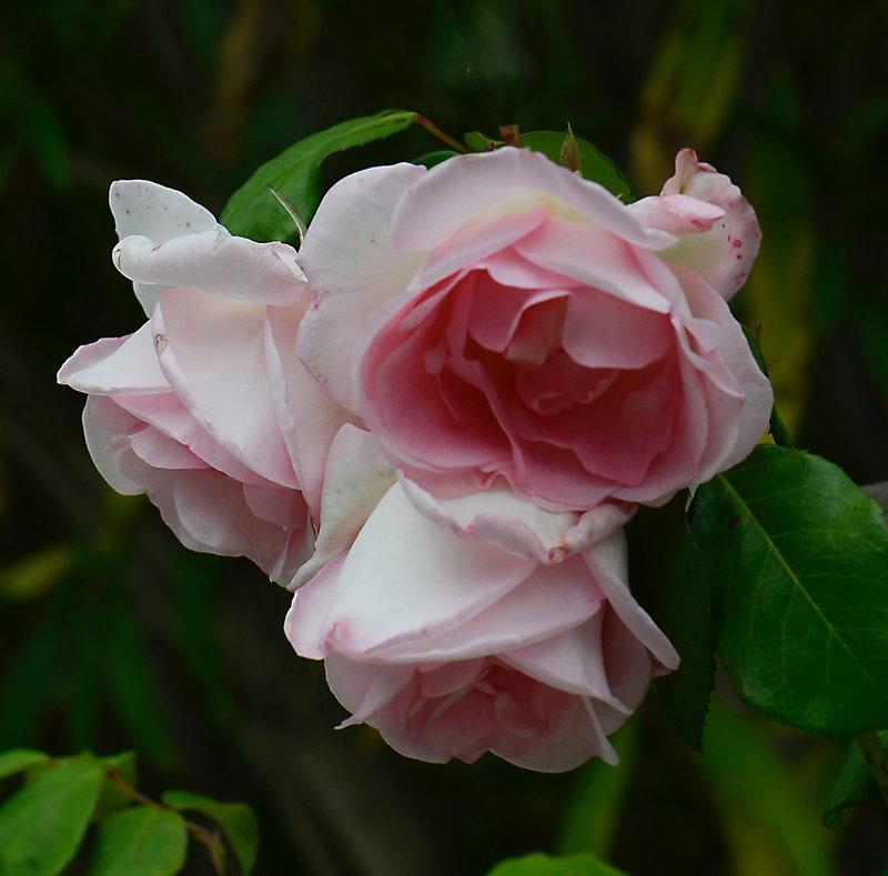 Trois roses Sandrine 1-14-05-21