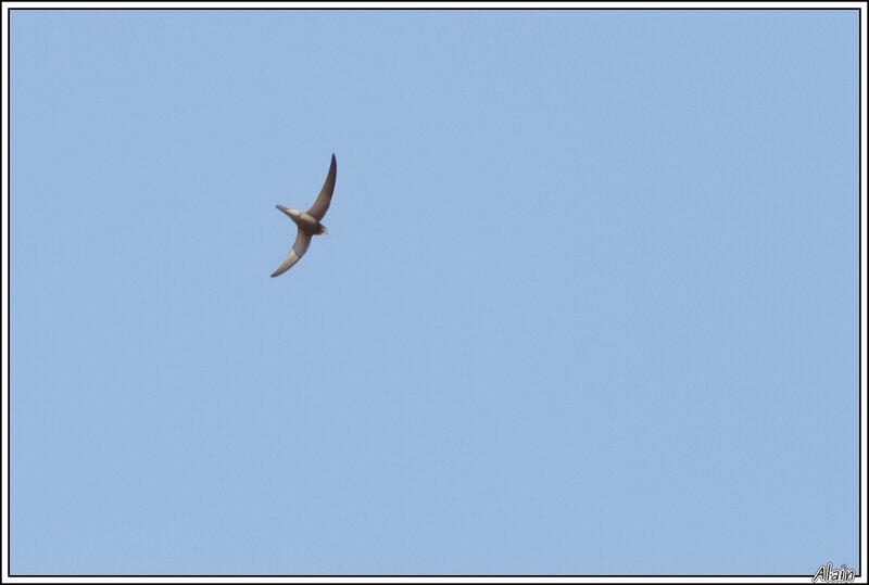 Martinet pâle... mauvaise photo, mais oiseau assez peu commun et ne prenant jamais la pose (ni la pause !)