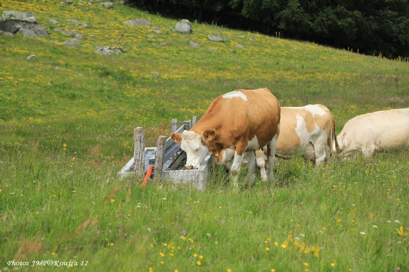 Photos JMP©Koufra 12 - Nasbinals Vache Traite - 24062018 - 069