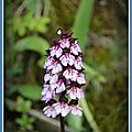 Orchidée sauvage et molène floconneuse ... du vercors