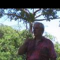 Yvor de walapulu, cacaotier guyanais