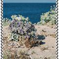 Chardons bleus, Cordon Littoral et dunes de Corse...