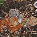 Cortinarius malachius • famille des Cortinariaceae