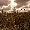 Les blés