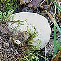 Polyporus squamosus (1)