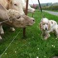 Je m'aime pas les vaches, je préfère mon panier...