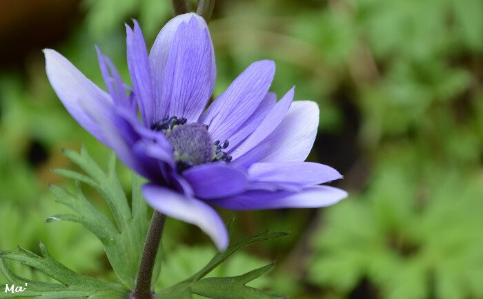 180414_anemone