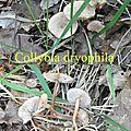 Collybia dryophila