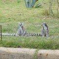 2003-03-22 Les maki catta (lémures)